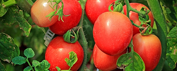 tomatoes-on-branch_160757978