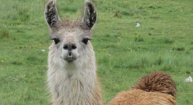 Quinoa is the food of Gods and lamas !